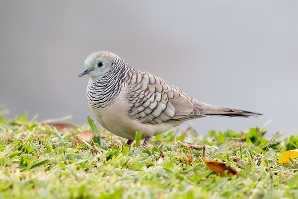 Peaceful Dove (Geopelia placida) - Tyto Wetlands (Ingham), Queensland