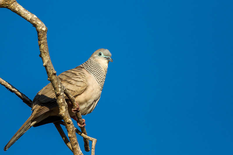 Peaceful Dove (Geopelia placida) - Lee Point (Darwin), Northern Territory