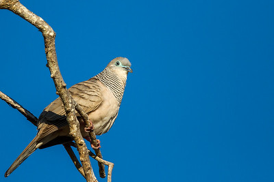 Peaceful Dove (Geopelia placida) - Lee Point (Darwin), Northern Territory