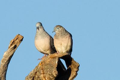 Peaceful Dove (Geopelia placida) - Burra Creek Gorge (Worlds End), South Australia