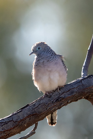 Peaceful Dove (Geopelia placida) - Winton, Queensland