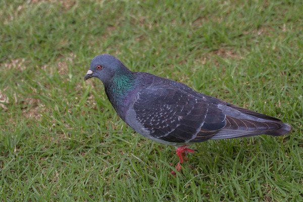 Rock Dove (Columbia livia) - Norfolk Island