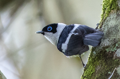 Pied Monarch (Arses kaupi) - Wongabel State Forest (Malanda), Queensland
