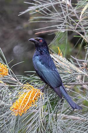 Spangled Drongo (Dicrurus bracteatus) - Mount Mollloy, Queensland