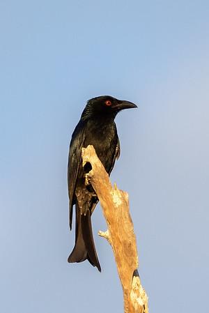Spangled Drongo (Dicrurus bracteatus) - Birds on Barron (Mareeba), Queensland