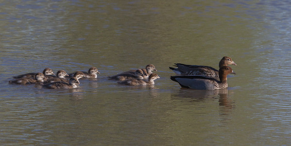 Australian Wood Duck (Chenonetta jubata) - Maryborough, Victoria