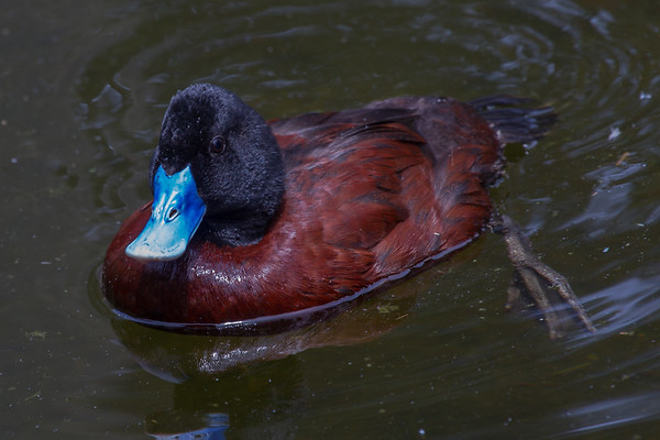 Blue-billed Duck (Oxyura australis) - Perth Zoo, Western Australia