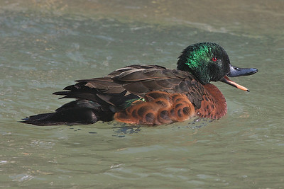 Chestnut Teal (Anas castanea) - Melbourne Zoo, Victoria