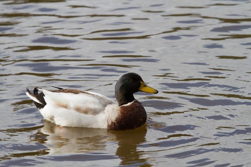 Duck - Daylesford, Victoria