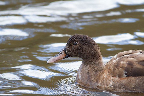 Duck - Aireys Inlet, Victoria