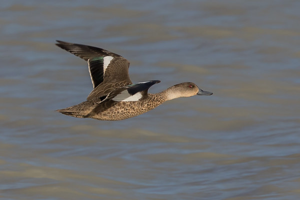 Grey Teal (Anas gracilis) - Camooweal, Queensland