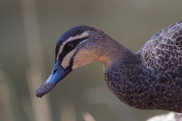 Pacific Black Duck (Anas superciliosa) - Euroa, Victoria