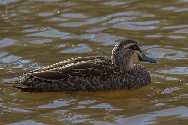 Pacific Black Duck (Anas superciliosa) - Daylesford, Victoria