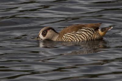 Pink-eared Duck (Malacorhynchus membranaceus) - Coolart, Victoria