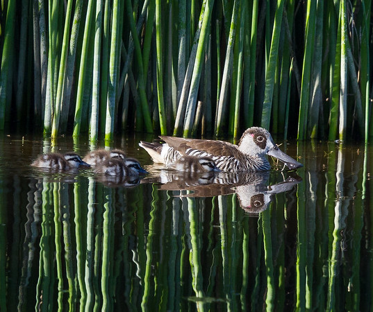 Pink-eared Duck (Malacorhynchus membranaceus) - Lake Claremont, Western Australia