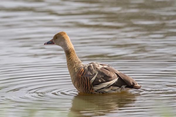 Plumed Whistling-Duck (Dendrocygna eytoni) - Atherton, Queensland