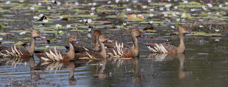 Plumed Whistling-Duck (Dendrocygna eytoni) - Anbangbang Billabong (Kakadu), Northern Territory
