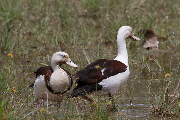 Radjah Shelduck (Tadorna radjah) - Bridge Creek, Northern Territory