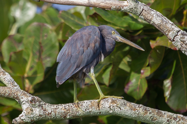 Eastern Reef Egret (Egretta (Ardea) sacra), Green Island (Cairns), Queensland