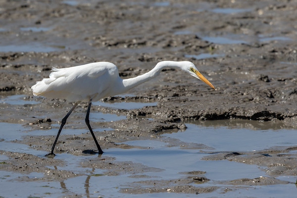 Great Egret (Ardea alba) - Cairns, Queensland