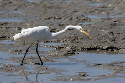 Great Egret (Ardea alba) - Cairns, Queensland
