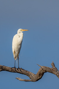 Great Egret (Ardea alba) - Herron Point, Western Australia
