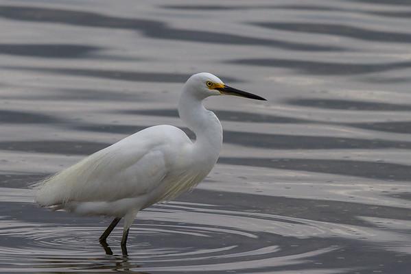 Little Egret (Egretta garzetta) - American River, Kangaroo Island