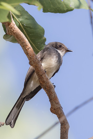 Northern Fantail (Rhipidura rufiventris) - Edith Falls, Northern Territory