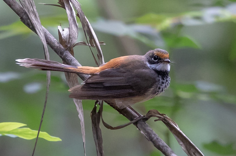 Rufous Fantail (Rhipidura rufifrons) -  Iron Range National Park (Cape York), Queensland