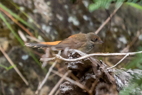 Rufous Fantail (Rhipidura rufifrons) - Capertee Valley, New South Wales