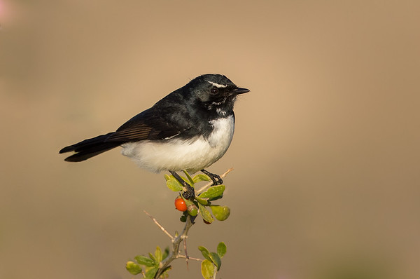 Willie Wagtail (Rhipidura leucophrys) - Lake Cargelligo, New South Wales