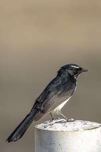 Willie Wagtail (Rhipidura leucophrys) - Bowenville, Queensland