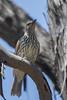 Olive-backed Oriole (Oriolus sagittatus) - Chiltern, Victoria