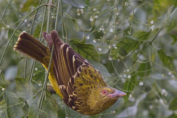 Yellow Oriole (Oriolus flavocinctus) - Botanic Gardens (Darwin), Northern Territory