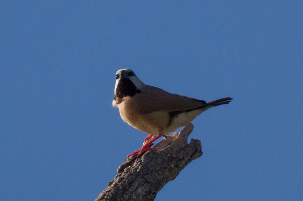 Black-throated Finch (Poephila cincta) - Cumberland Dam (Georgetown), Queensland