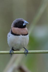 Chestnut-breasted Mannikin (Lonchura castaneothorax) - Mareeba, Queensland