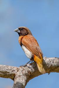 Chestnut-breasted Mannikin ((Lonchura castaneothorax) -  Thursday Island