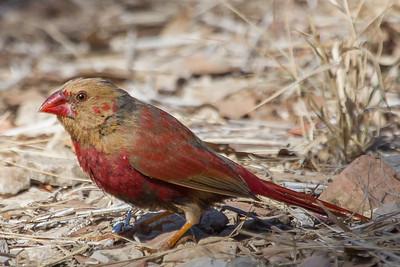 Crimson Finch (Neochmia phaeton) - Lawn Hill National Park, Queensland