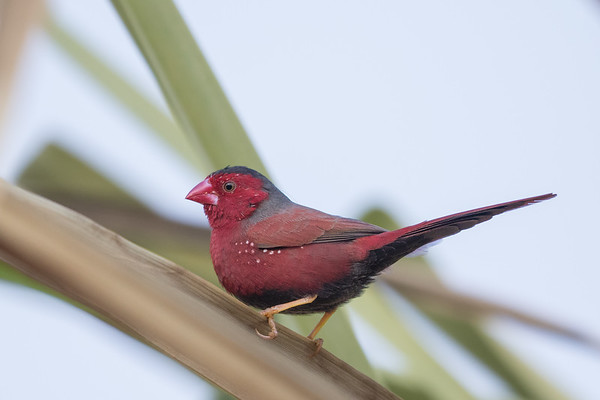 Crimson Finch (Neochmia phaeton) - Edith Falls, Northern Territory