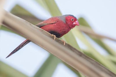 Crimson Finch (Neochmia phaeton) - Edith Falls, Northern Territory