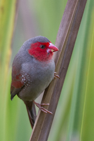 Crimson Finch (Neochmia phaeton) - Tyto Wetlands (Ingham), Queensland