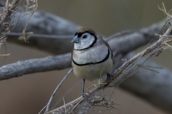 Double-barred Finch (Taeniopygia bichenovii) - Clem Walton Reserve (Cloncurry), Queensland