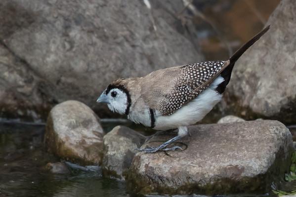 Double-barred Finch (Taeniopygia bichenovii) - Clem Walton Reserve (Cloncurry), Queensland