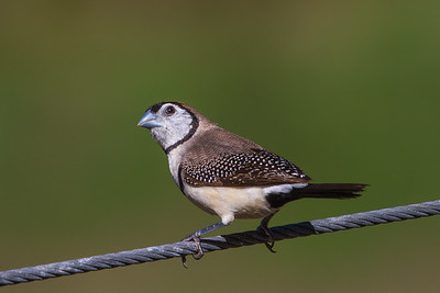 Double-barred Finch (Taeniopygia bichenovii) - Lockyer Valley, Queensland