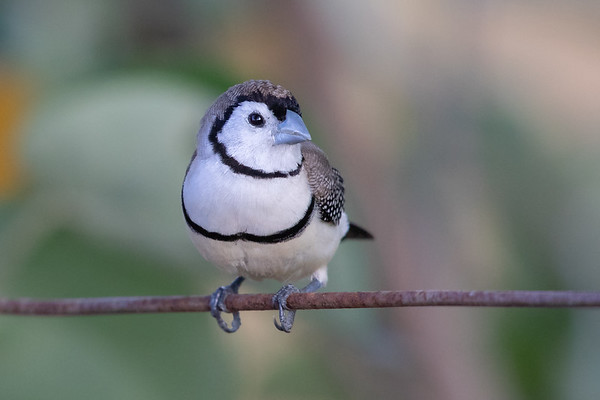 Double-barred Finch (Taeniopygia bichenovii) - Birds on Barron (Mareeba), Queensland