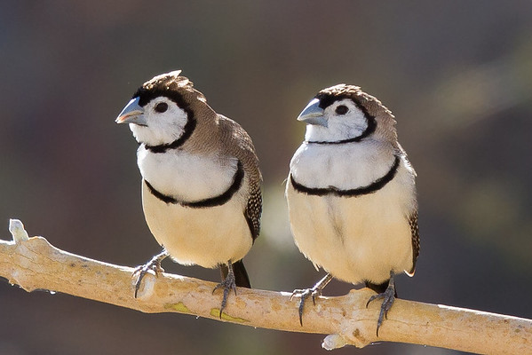 Double-barred Finch (Taeniopygia bichenovii) - Cumberland Dam(Georgetown), Queensland