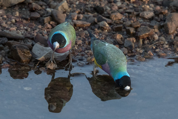 Gouldian Finch (Erythrura gouldiae) - Edith Falls, Northern Territory