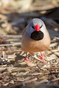 Long-tailed Finch (Poephila acuticauda) - Goanna Creek Rest Area, Northern Territory