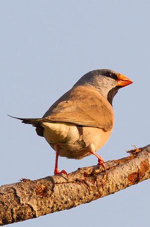Long-tailed Finch (Poephila acuticauda) - Holmes Jungle Nature Park (Darwin), Northern Territory