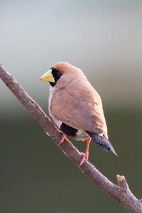 Masked Finch (Poephila personata) - Parrys Lagoon, Western Australia